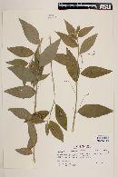 Image of Chiropetalum boliviense