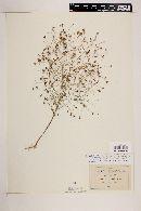 Schkuhria anthemoidea image