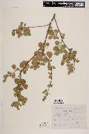 Image of Euphorbia hindsiana