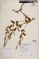 Image of Croton agoensis