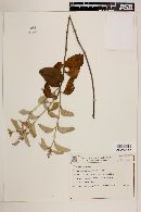 Image of Croton goyazensis