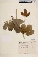 Image of Dalechampia ficifolia