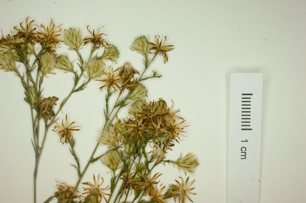 Aster subulatus var. parviflorus image
