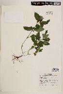 Synedrella nodiflora image