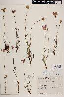 Pinaropappus roseus image