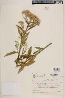 Pluchea sagittalis image