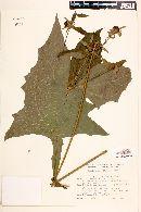 Polymnia connata image