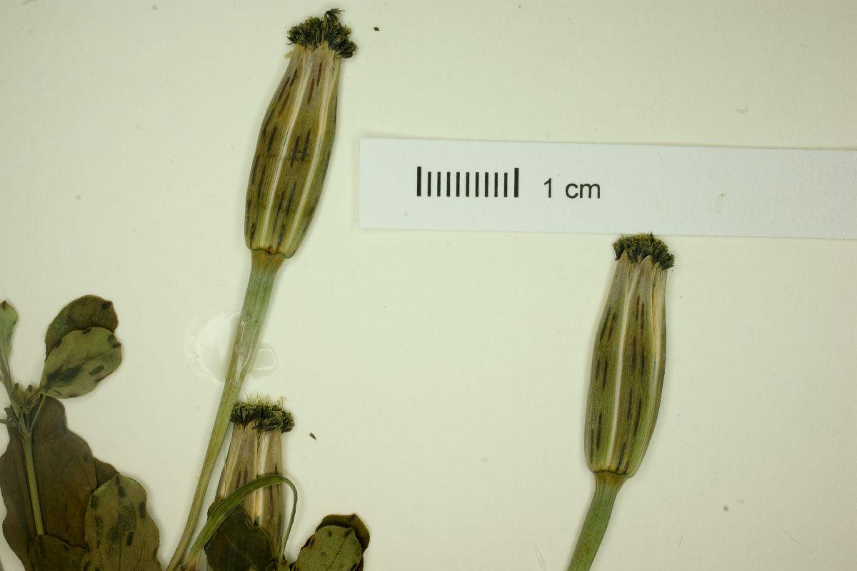 Porophyllum ruderale ssp. macrocephalum image