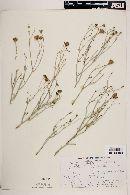 Image of Porophyllum scoparium