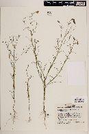 Image of Porophyllum tagetoides