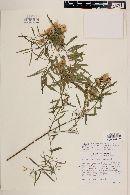 Porophyllum pausodynum image
