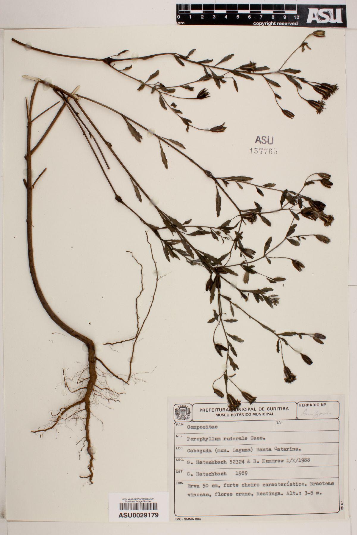 Porophyllum image