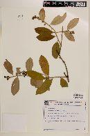 Image of Diclidanthera elliptica