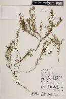 Image of Monnina angustifolia