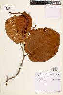 Image of Coccoloba alnifolia