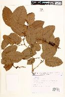 Image of Coccoloba cujabensis