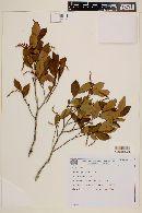 Image of Coccoloba grandiflora
