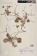 Image of Eriogonum moranii