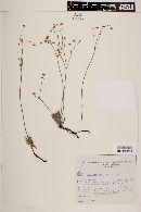 Image of Eriogonum viscanum