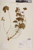 Image of Geranium berteroanum
