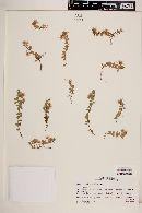 Anagallis alternifolia image