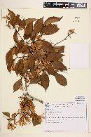 Image of Ruprechtia laxiflora
