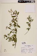 Image of Euphorbia smithii