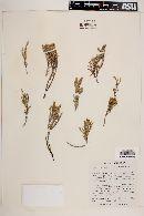 Image of Frankenia juniperoides