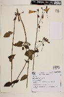 Chelonanthus alatus image