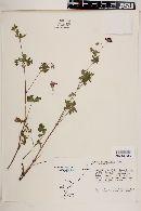 Image of Geranium caespitosum