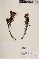 Image of Euphorbia lactiflua
