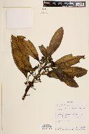 Image of Euphorbia laurifolia