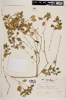 Image of Euphorbia sciadophila