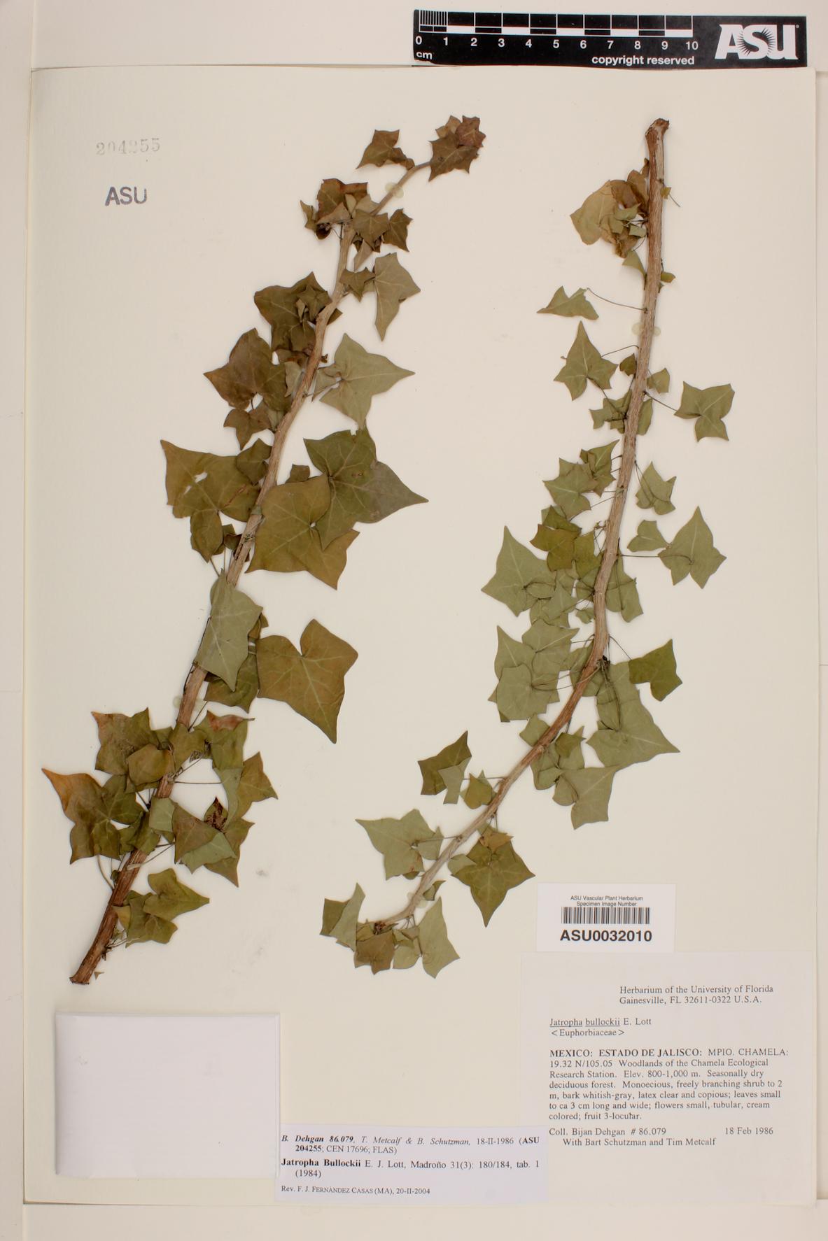 Jatropha bullockii image