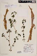 Jatropha cordata image