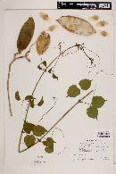 Amphilophium paniculatum image
