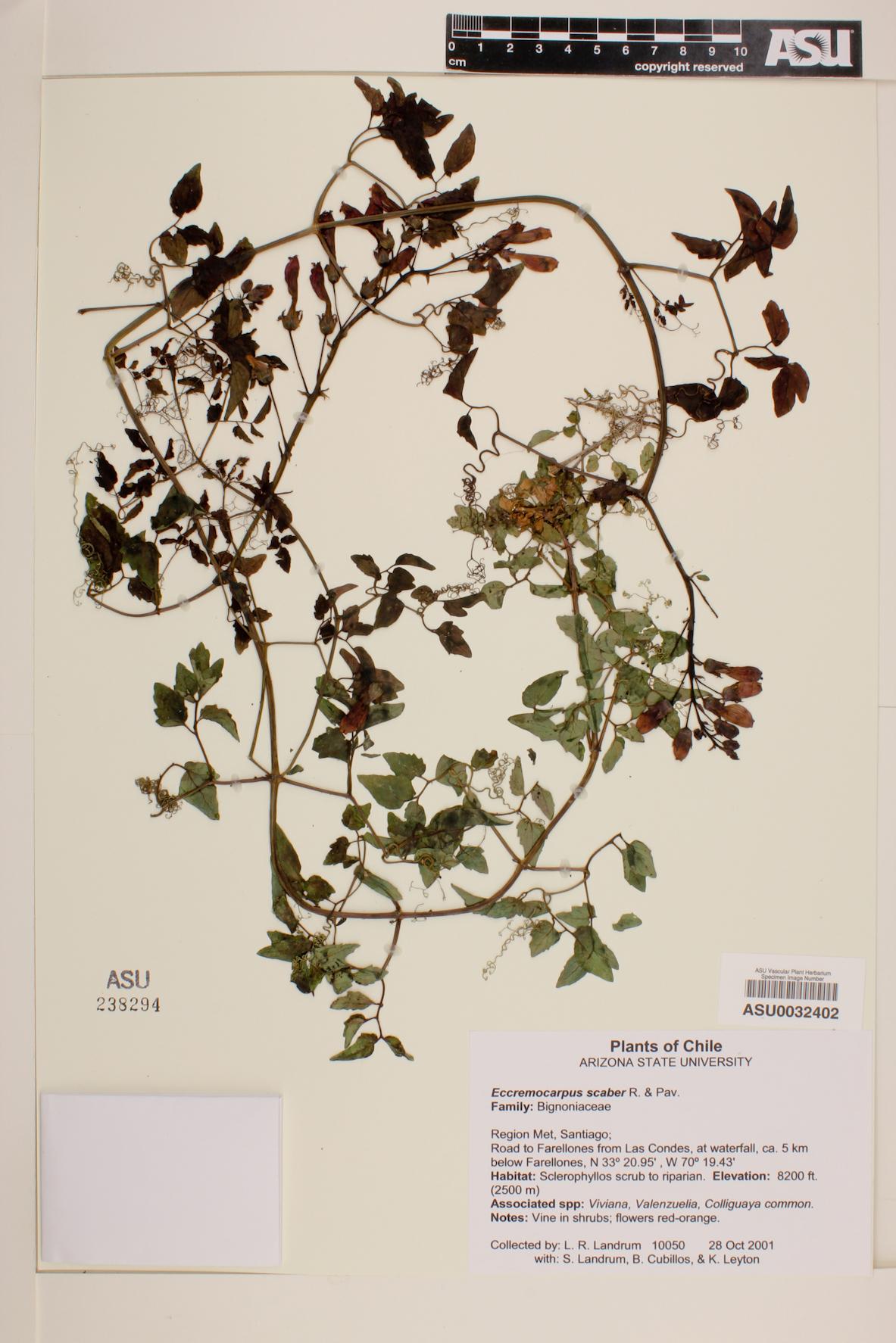Eccremocarpus image