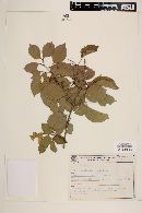 Image of Amphilophium bracteatum