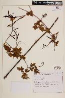 Image of Pleonotoma orientalis