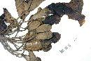 Tabebuia rosea image