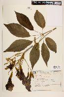 Image of Handroanthus albus
