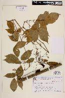 Image of Tynanthus micranthus