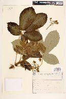 Image of Zeyheria tuberculosa