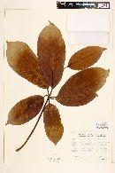 Image of Gyranthera caribensis