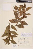 Image of Jatropha pedersenii