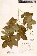 Jatropha excisa image