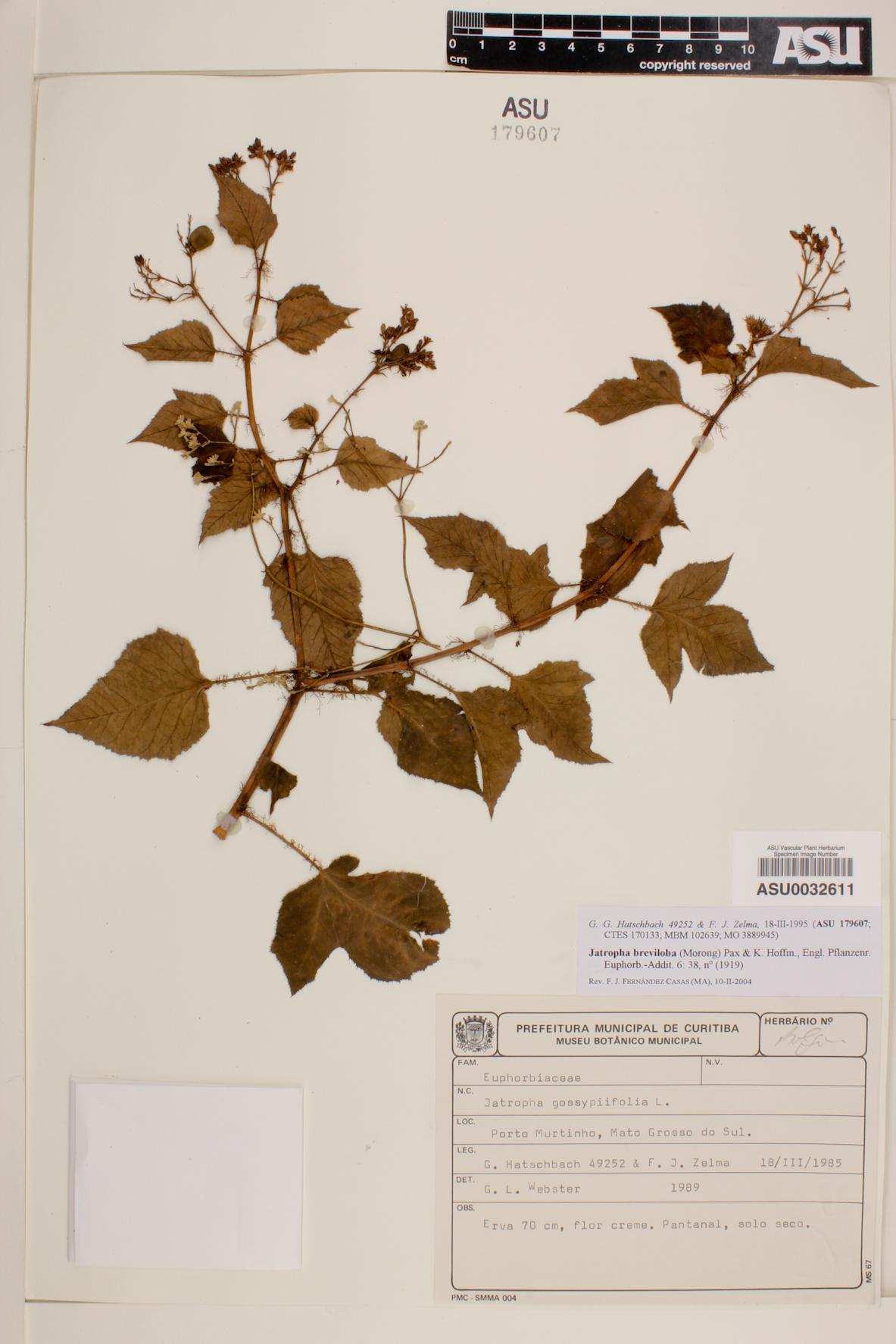 Jatropha breviloba image