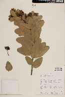 Eucryphia cordifolia image