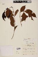 Eugenia pseudopsidium image