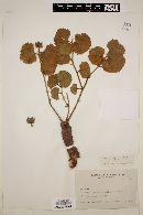 Image of Hibiscus cucurbitaceus